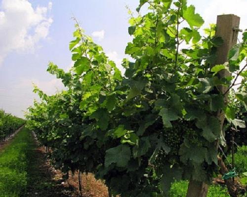 Prosecco vitigni