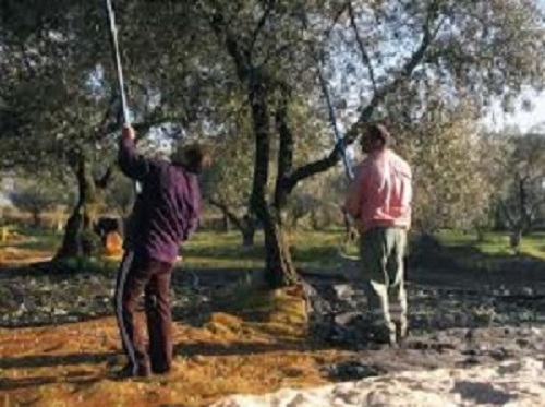 raccolta olive II